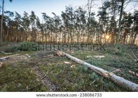 Tree Stumps in a Clearcut Area - stock photo
