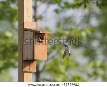 Tree swallow at bird house in Virginia.  Flying in. - stock photo