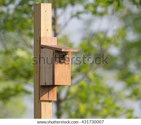 Tree swallow at bird house in Virginia.  Looking out with mouth open. - stock photo