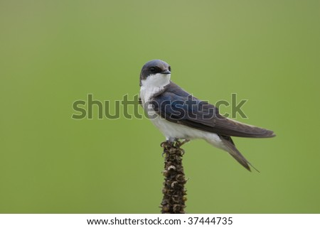 Tree Swallow (Tachycineta bicolor), female perched on a Common Mullein (Verbascum thapsus) stalk with a beautiful green background - stock photo