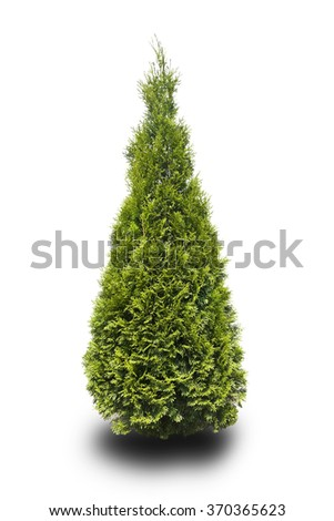 tree thuja isolated on white - stock photo