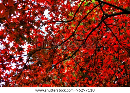 Tree top background consisting from leaves and branches of red maple - stock photo