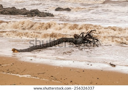 Tree trunk died laying on a beach - stock photo