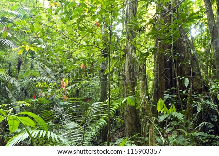 Tree with buttress roots growing in primary rainforest in the Ecuadorian Amazon - stock photo