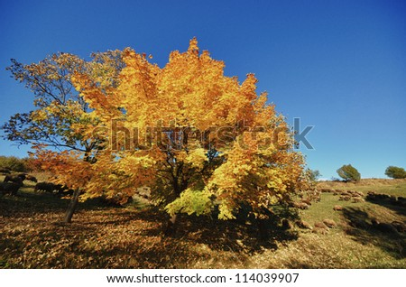 Tree with orange crown and flock of sheep - stock photo