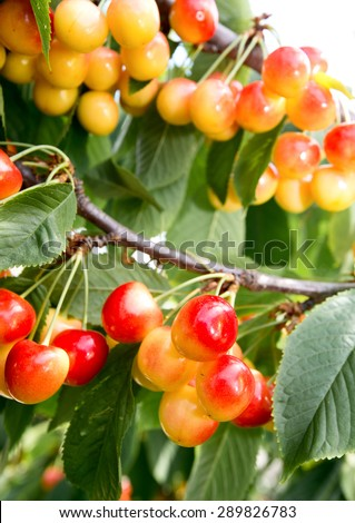 Tree with ripe berries  sweet cherry, yellow with red side - stock photo