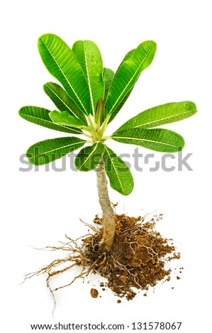 Tree with roots and soil on a white background, Frangipani trees. - stock photo
