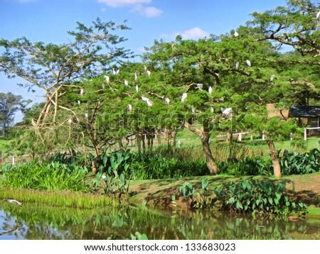 Tree with white birds next to lake. Shot in Pietermaritzburg and Durban, Kwazulu-Natal, South Africa. - stock photo
