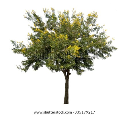 Tree with yellow flowers isolated on white background - stock photo