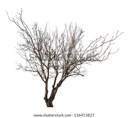 tree without leaves isolated on white background - stock photo