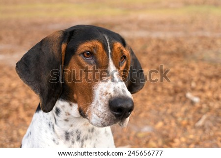 Treeing Walker Coonhound hound dog looking expectantly begging waiting watching staring sitting obediently with ears forward - stock photo