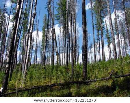 trees foliage after forest fire - stock photo