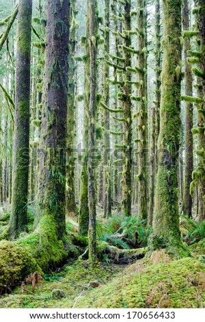 Trees growing in a tight pattern in a dense moss covered forest - stock photo
