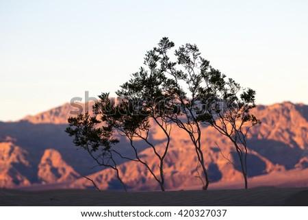 trees in desert at sunset - stock photo