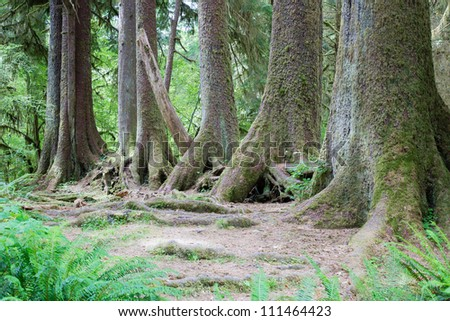 Trees in largest rain forest in the western hemisphere, in Olympic National Park, Washington, USA - stock photo