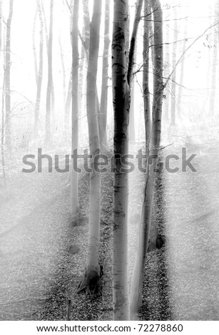 trees in the forest with fog - stock photo
