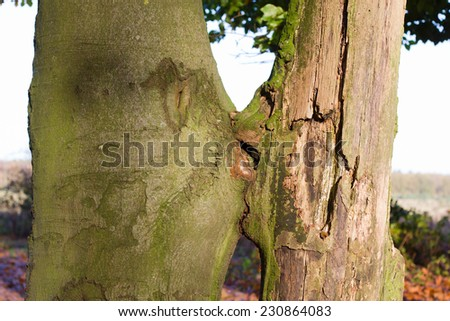 Trees kissing in a forest at sunset (incl. naturally formed heart-shape) - stock photo