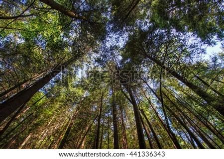 Trees Reaching Upwards on the Appalachian Trail  Appalachian Trail, Appalachian Mountains, Georgia  - stock photo