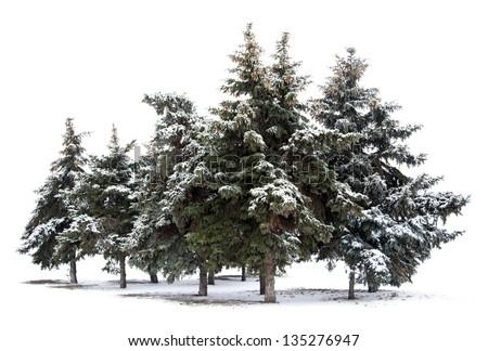 Trees spruce isolated on white background - stock photo