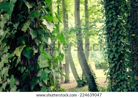 Trees with ivy in the sunshine. - stock photo