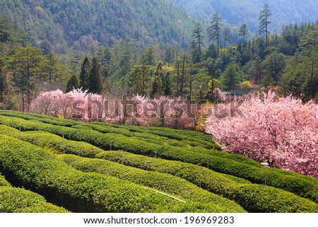 Trees with pink blossoms on the opposite side of the field. - stock photo