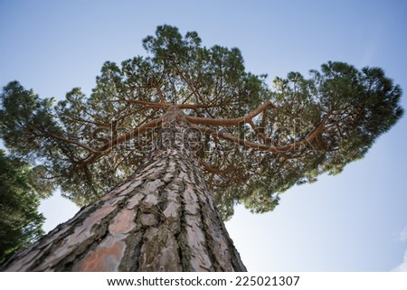 treetop and stem of pine tree - stock photo