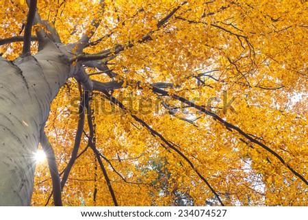 Treetop insight into autumn beech seen through the sun - stock photo