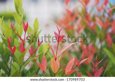 treetop of Syzygium australe plant, commonly called Brush Cherry or Scrub Cherry - stock photo