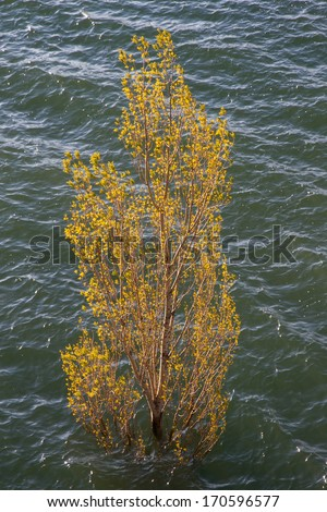 Treetop solo young spring leaves protruding above the water of a swamp  - stock photo