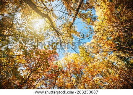 treetops in the autumn forest. photographed on a fisheye lens - stock photo