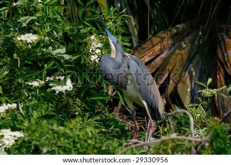 Tri-Color Heron - stock photo