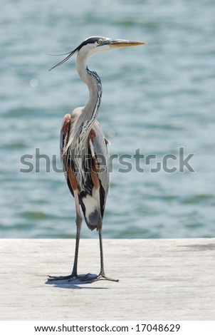 Tri-colored Heron Portrait - stock photo