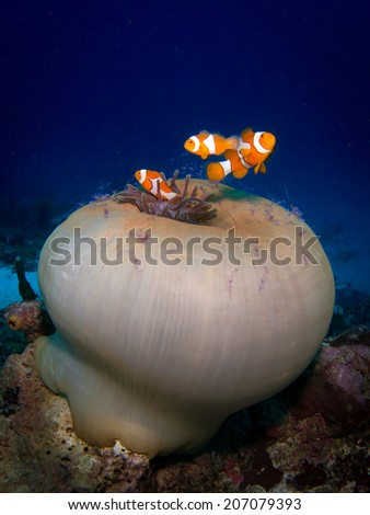 Tri of the Anemone fish, nemo. Portrait of the fish with beautiful unusual close white anemone coral with hundreds transparent cleaning shrimps around. Togeans, Indonesia. - stock photo
