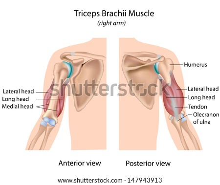 Triceps brachii muscle, labeled  - stock photo