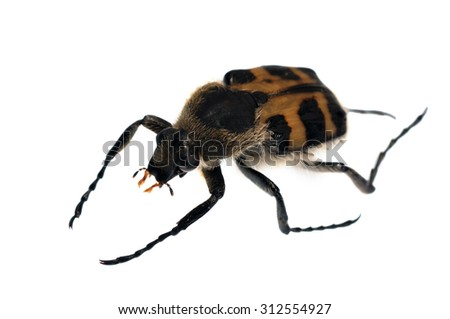 Trichius beetle isolated on white. - stock photo