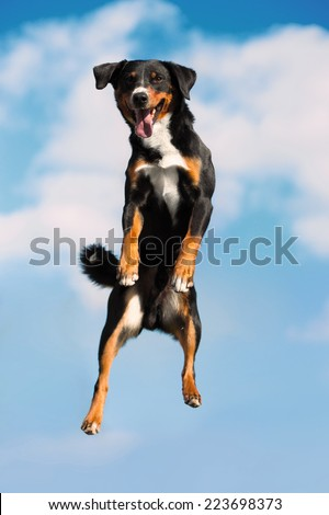 Tricolor Appenzeller sennenhund dog jimps high in the sky - stock photo