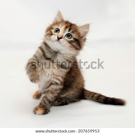 Tricolor fluffy kitten plays, lifting front foot on white background - stock photo