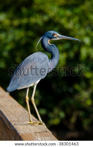 Tricolor Heron Posing - stock photo