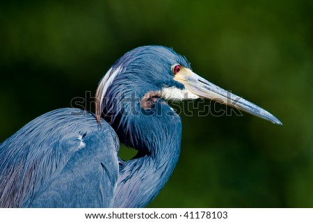 Tricolor Heron resting - stock photo