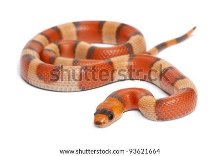 Tricolor hypomelanistic Honduran milk snake, Lampropeltis triangulum hondurensis, in front of white background - stock photo