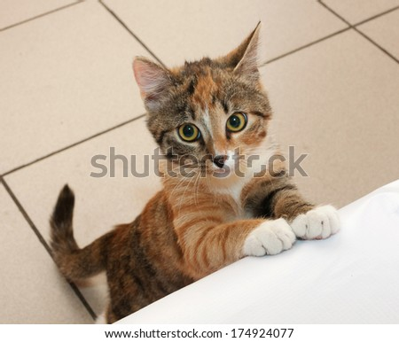 Tricolor kitten standing on his hind legs with a sad look - stock photo