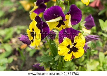 Tricolor Pansies, Violet and yellow multicolor pansies outdoor in nature. Closeup. Selective focus   - stock photo