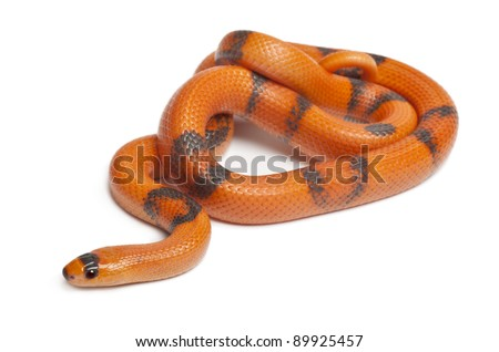 Tricolor Reverse Honduran milk snake, Lampropeltis triangulum hondurensis, in front of white background - stock photo