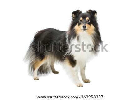 Tricolor sheltie dog - stock photo