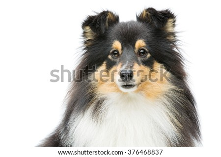 Tricolor sheltie dog - stock photo