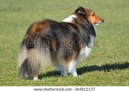 Tricolor Shetland Sheepdog (Sheltie) - stock photo