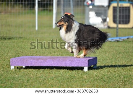 Tricolor Shetland Sheepdog (Sheltie) on a Pause Table at Dog Agility Trial - stock photo