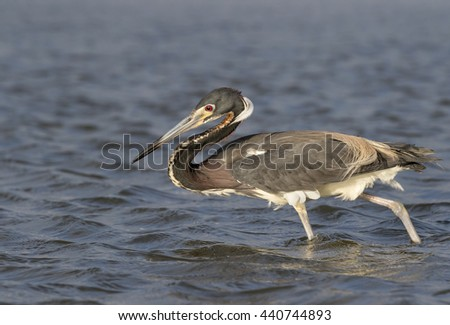 Tricolored heron (Egretta tricolor) hunting in shallow water near the ocean coast, Galveston, Texas, USA. - stock photo