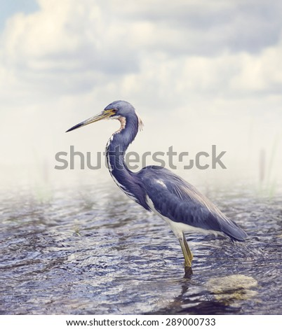 Tricolored Heron In Florida Wetland - stock photo