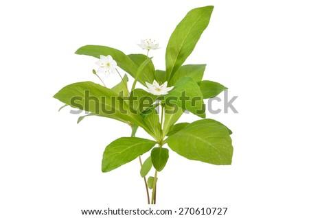 Trientalis europaea flowers isolated on white background - stock photo